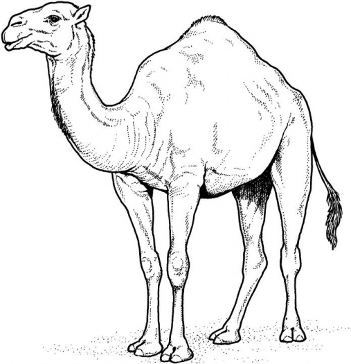 camel-8-coloring-page