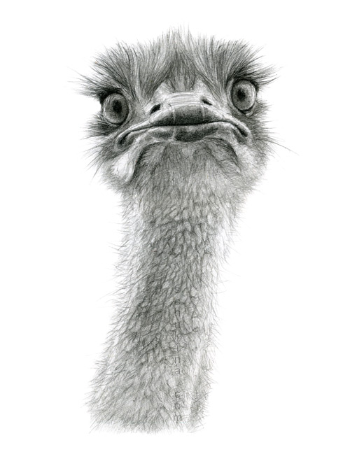 cute_ostrich_by_sschukina-d4vkoym