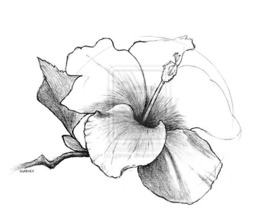 ebdfc08ae0d21943d6cb7a46654a5d22--draw-flowers-hibiscus-flowers